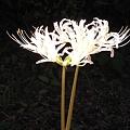 ヒガンバナ白花