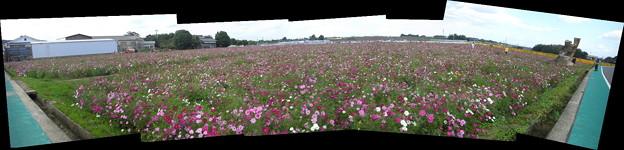コスモス畑パノラマ写真