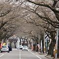 桜並木ー2