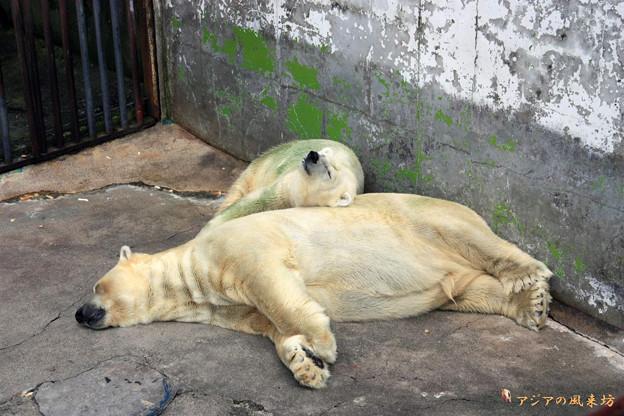 白熊の昼寝 カドリードミニオン