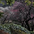 小石川の梅林(3)