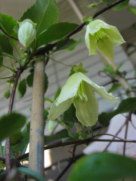 冬咲きクレマチス シルホサ系 シルホサ ジングルベル