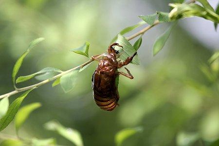 2009.07.25 追分市民の森 蝉の抜け殻