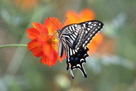 2009.09.05 キバナコスモスにアゲハチョウ