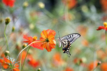 2009.09.05 キバナコスモスにアゲハチョウ-1