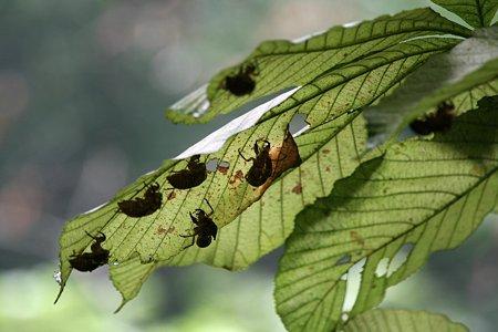 2009.09.12 大池公園 栃の木に夏の名残