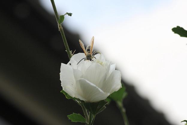 2009.09.27 和泉川 ヒメハラナガツチバチ♀