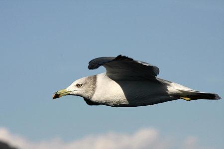 2009.10.11 駿河湾 ウミネコ 滑空