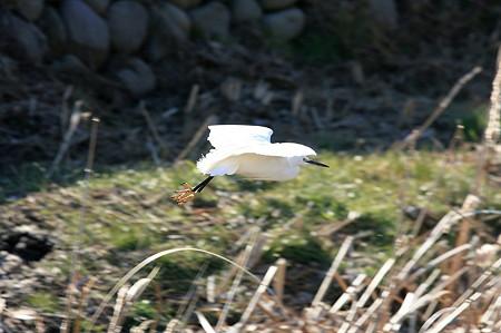 2011.01.14 和泉川 コサギ 飛翔