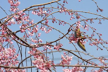 2011.04.13 和泉川 枝垂れ八重桜の裏にカワヒラ