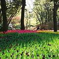 Photos: 2011.04.15 横浜公園 チューリップまつり-8