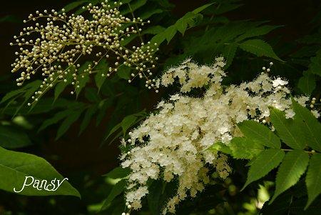 つぼみと花と・・ 穂咲きのナナカマド