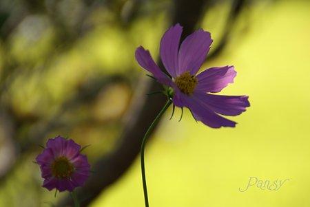 畦道に咲くコスモス・・