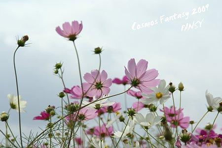 昭和記念公園 コスモスの丘・・6