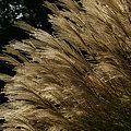 Photos: 秋の風すすき091018-526