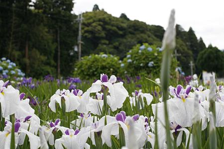 柳生花しょうぶ園 - 19