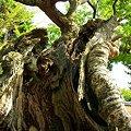 写真: 法隆寺 樹