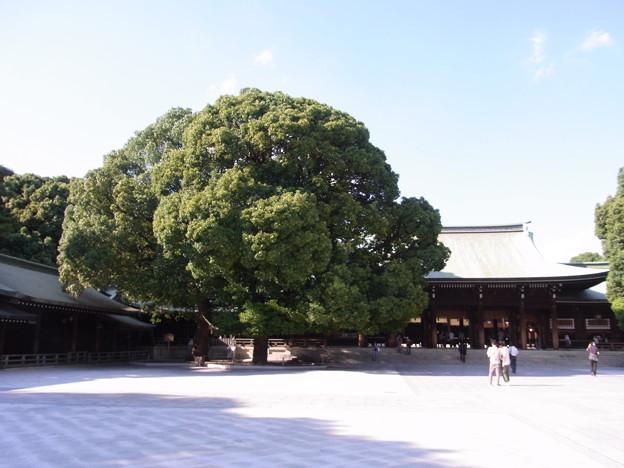 【東京|渋谷・原宿】 明治神宮 「縁結び」で有名な夫婦の楠(3)