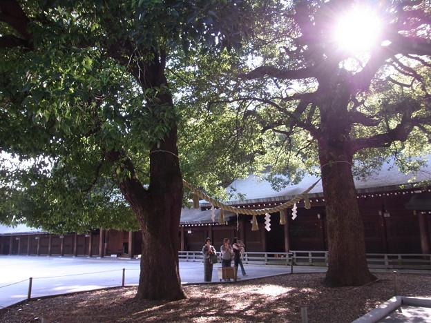 【東京|渋谷・原宿】 明治神宮 「縁結び」で有名な夫婦の楠(2)