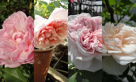 PinkRose2011-05-09