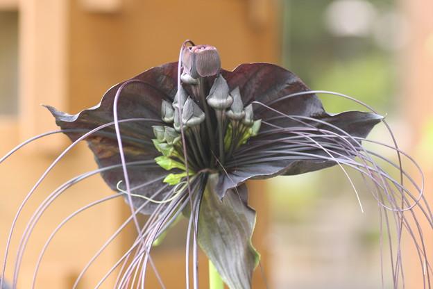 ブラックキャット(黒猫) 別名:タッカ・シャントリエリ バッドフラワー デビルフラワー タロイモ科