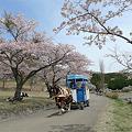 志高湖の桜(9)