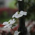 Photos: ハナミズキ 白  木の幹から開花^^