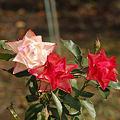 Photos: トリオで咲く
