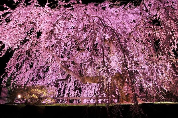 ライトアップされた枝垂れ夜桜・・弘前城本丸