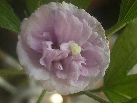 今日咲いたムクゲ
