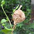写真: 蟷螂の卵